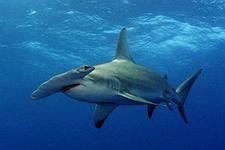 Хрящевые акулы