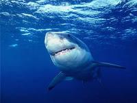 Хрящёвые акулы
