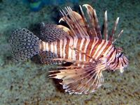 Опасная рыба крылатка