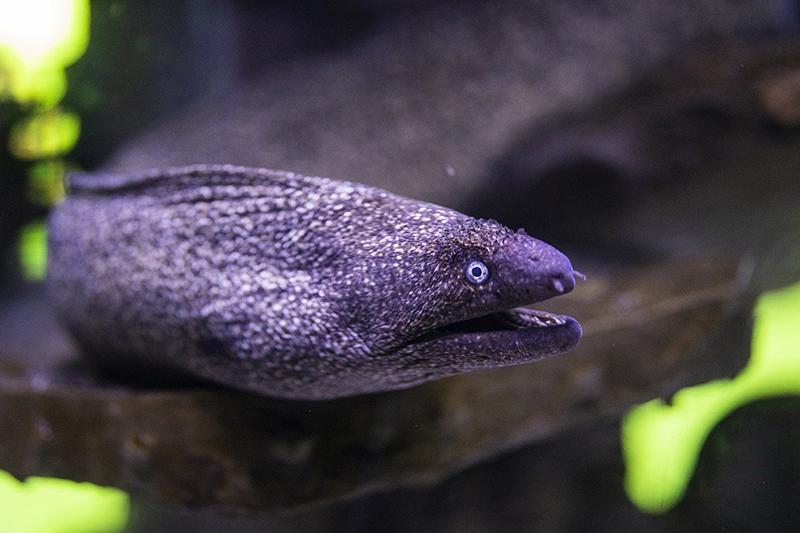 мурена подводный хищник